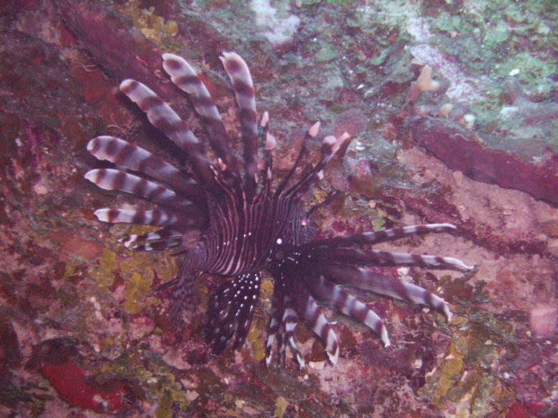 lion fish Turks & Caicos