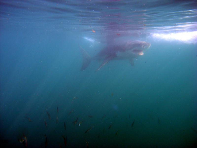 Withe shark South Arica 2010 (2)