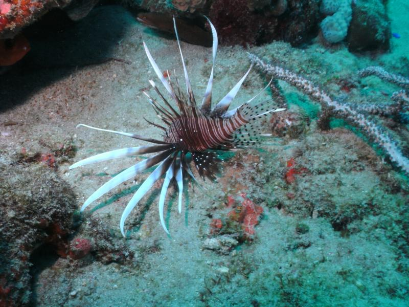 Lion Fish With viper eel behind it