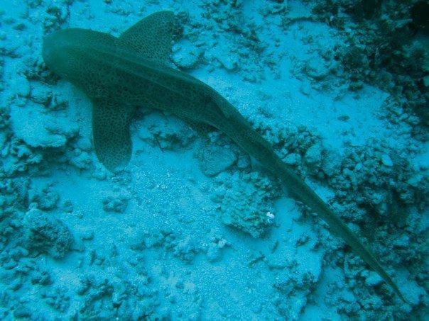 Leopard Shark - Palau