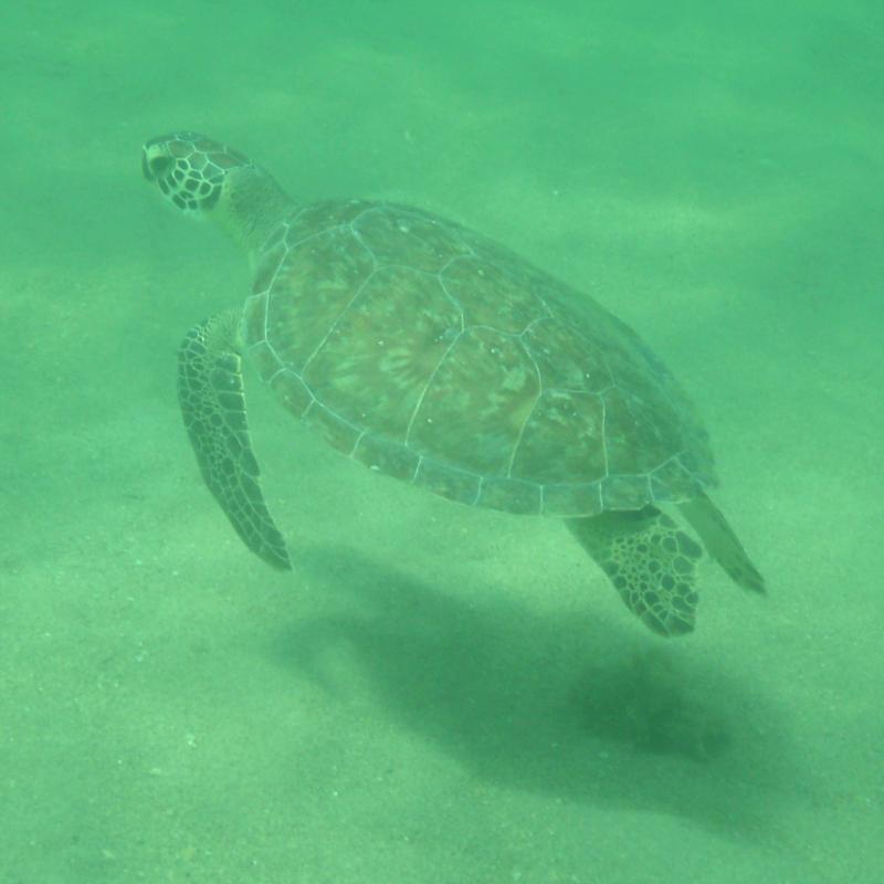 Chris - Commercial Blvd Pier - Sea Turtle