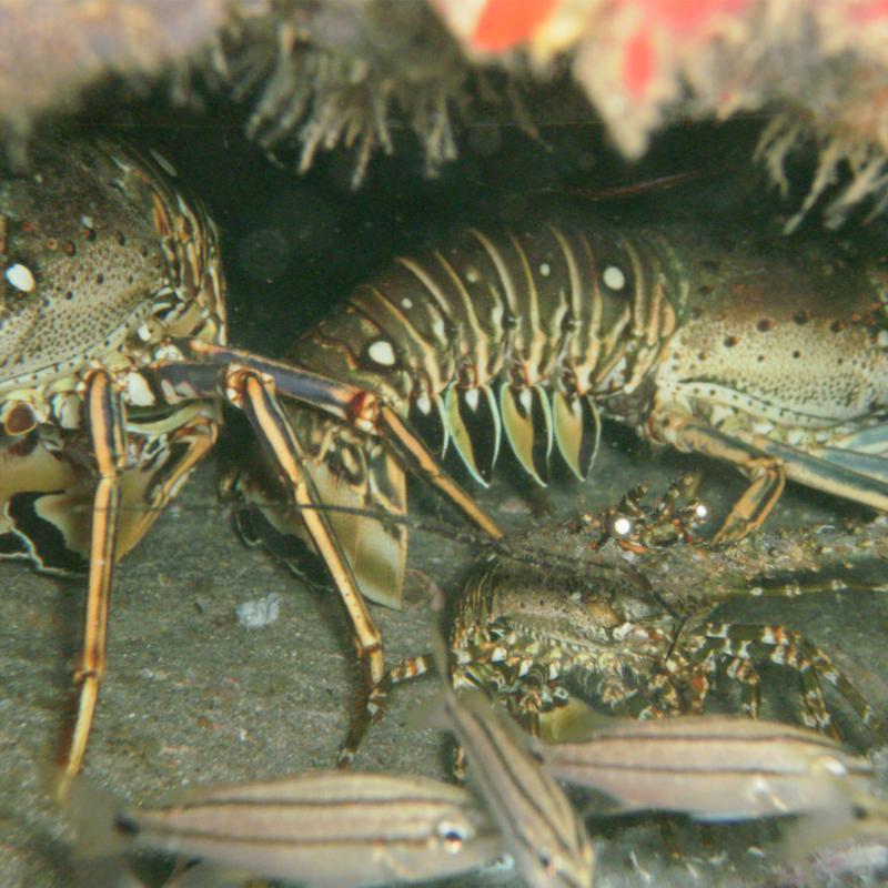 Momma, Papa, & Baby Lobster