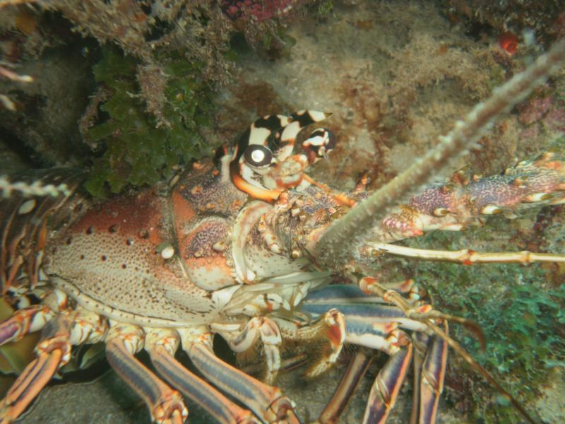 Up close and personal with a lobster