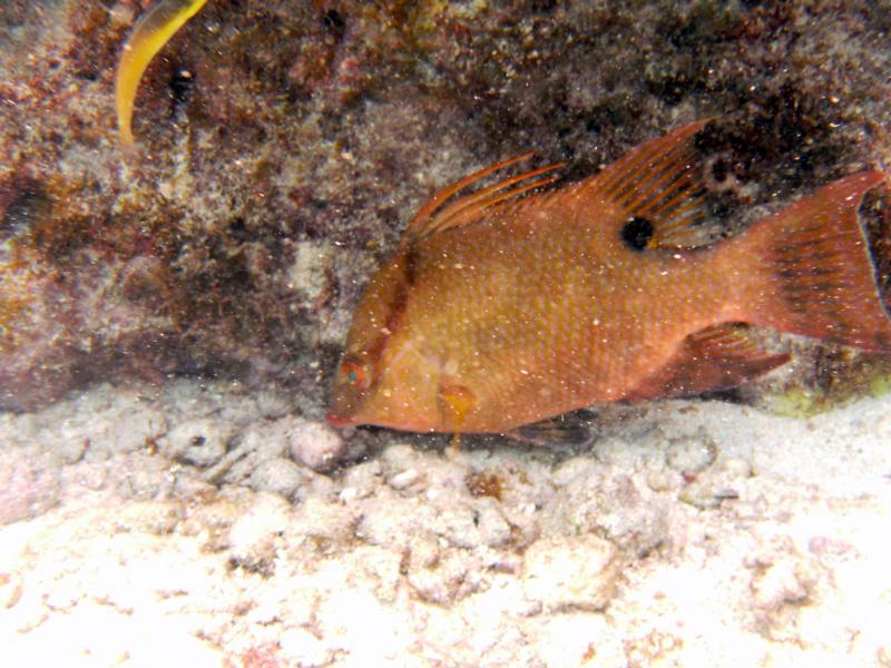 Hogfish Key Largo
