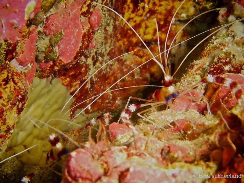 Red Banded Coral Shrimp