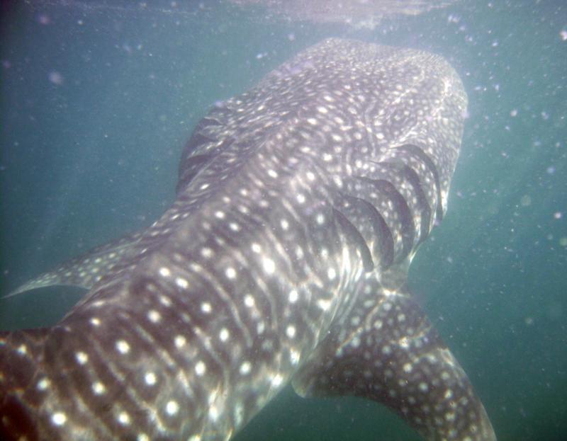 Whale Shark La Paz MX