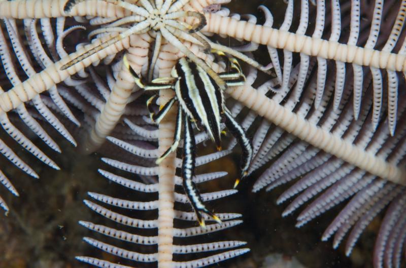 Squat Lobster, Anilao Philippines