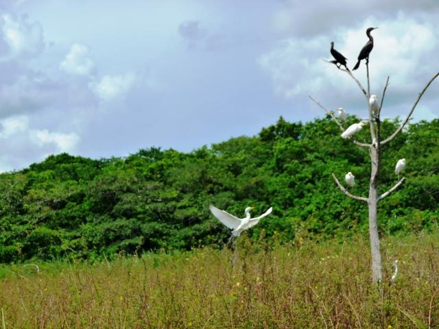 Just some birds along the river - Belize