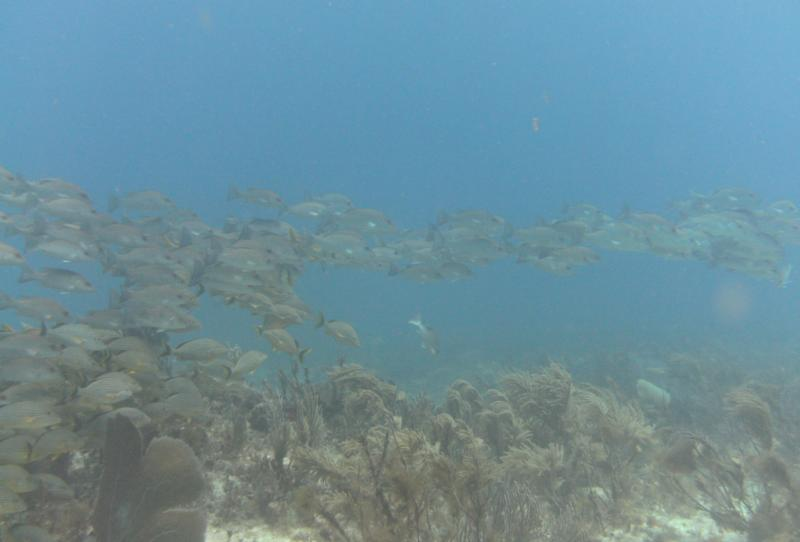 School of Fish, reef off Cancun