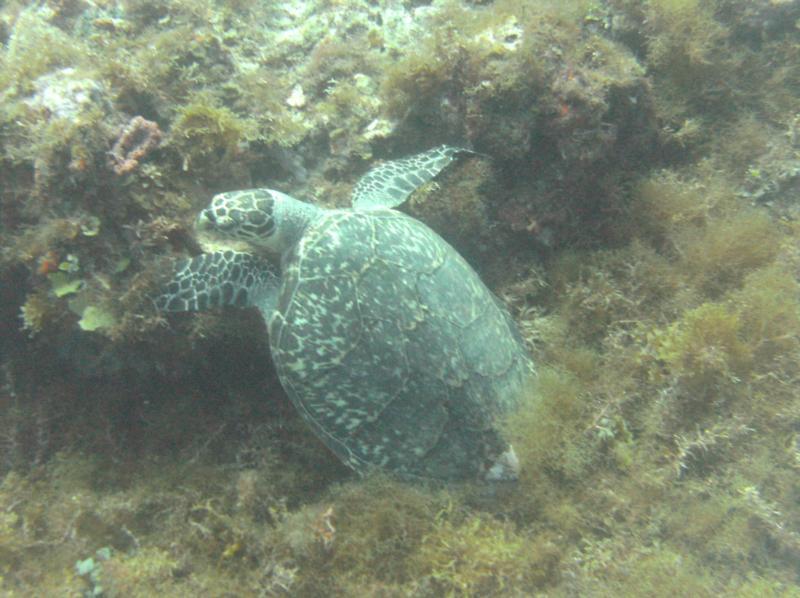 Sea Turtle, Cancun, Mexico