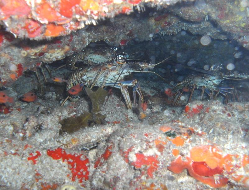 Lobsters hiding, Cancun, Mexico