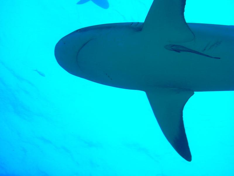 Reef Shark in the Bahamas
