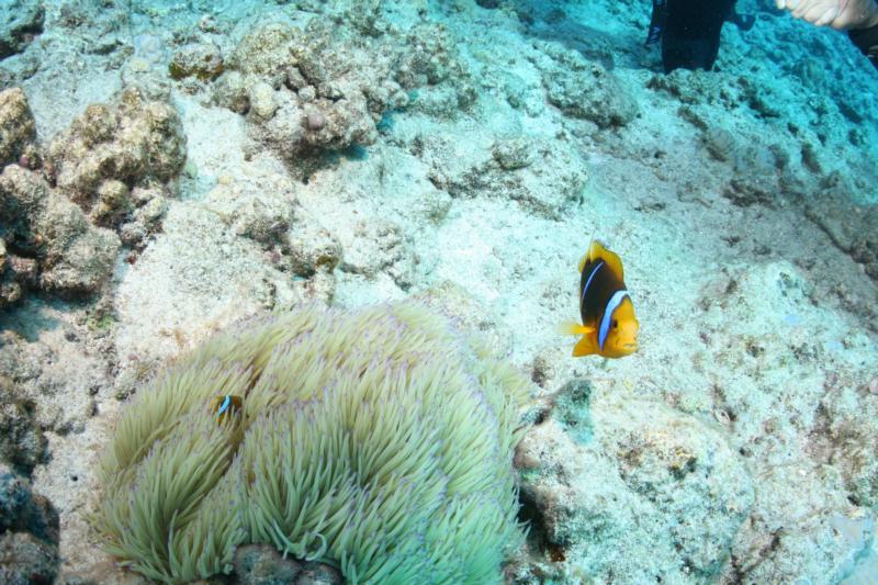 Clownfish in Bora Bora