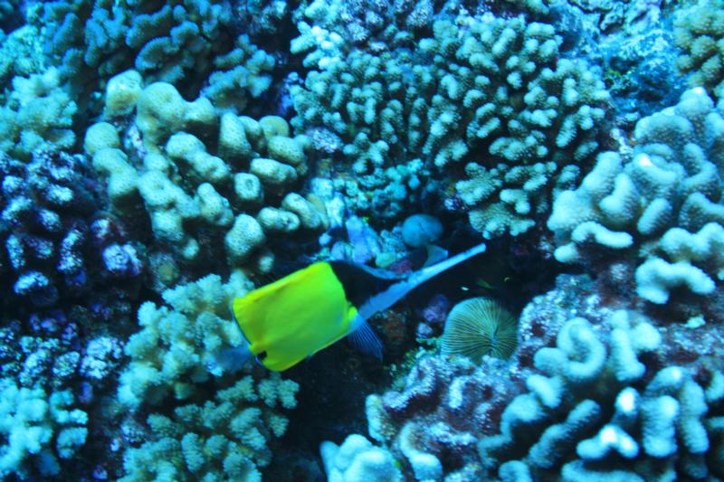 Butterfly fish in Rangiroa