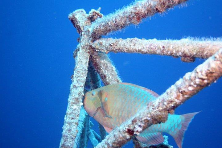 Parrotfish in the radar dish
