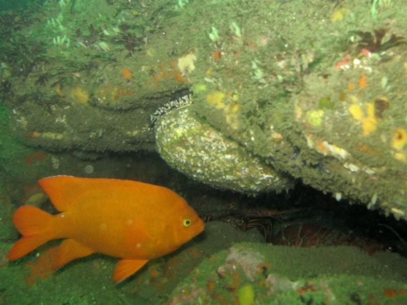 Garibaldi and Abalone