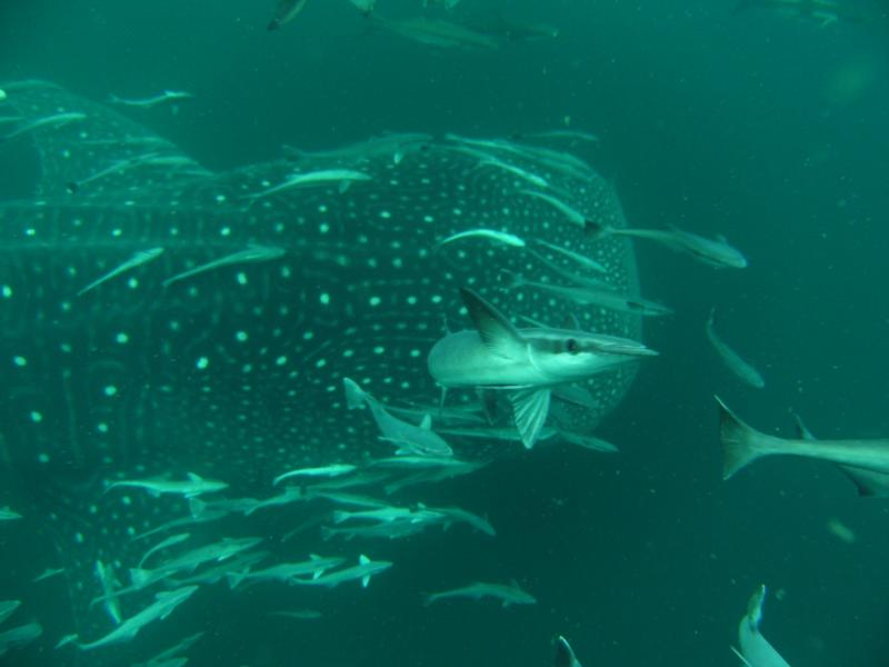 whale shark and freinds