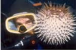 Diving with a Puffer Fish