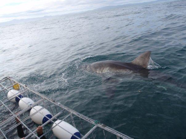 Great White- Shark Alley