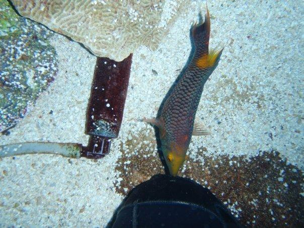 Spanish hogfish trying to eat my knee