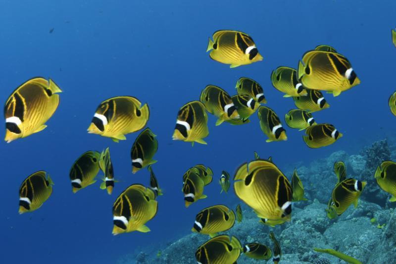 Kona Racoon Butterfly Fish