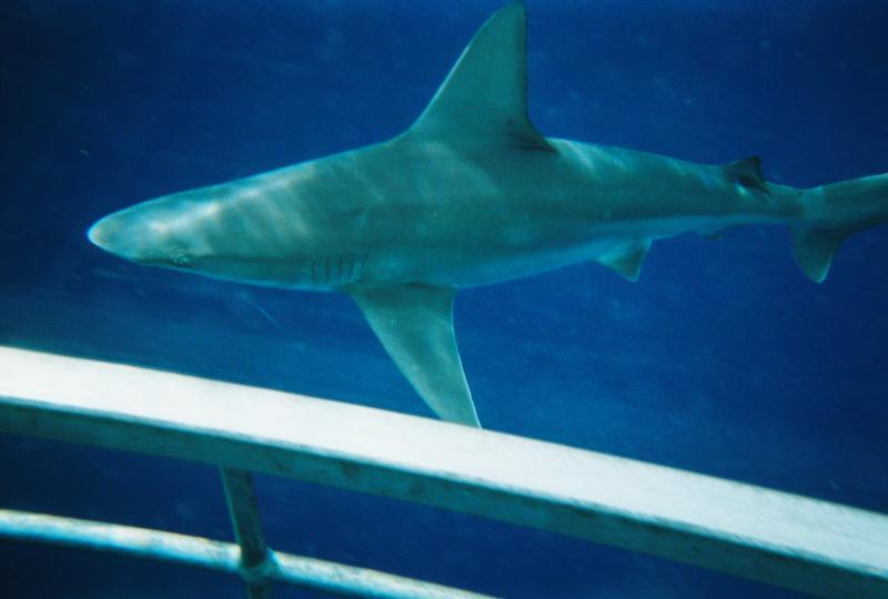 Shark Dive Hawaii