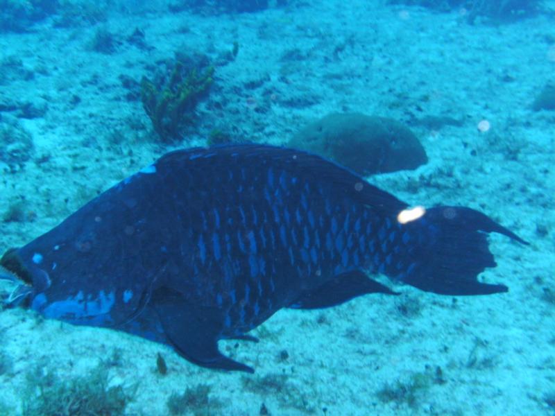 Pretty big Parrot Fish, Cozumel.