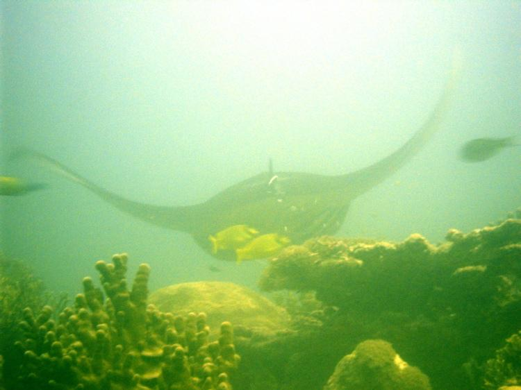 Manta Ray at Yap cleaning station