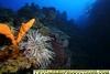 Giant Anemone W Point Provo