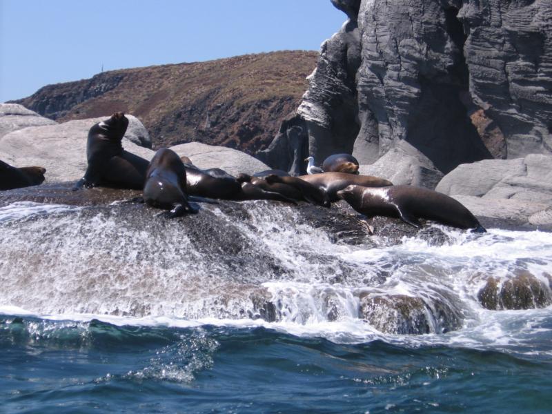 Sea Lions - Isla Coronado baja Sur