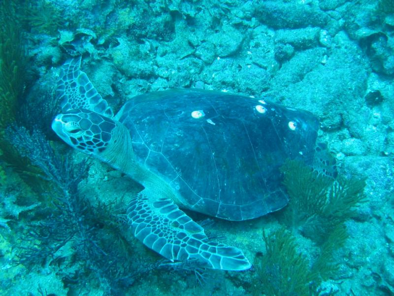Turtle off Bahia Salinas - Isla Carmen