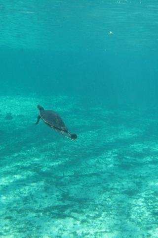 Ginnie Springs, FL - Turtle