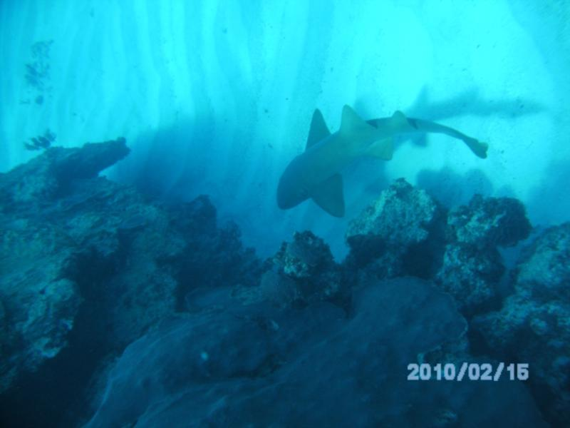 6' Nurse Shark patroling near the entrance to the Cathedral, Great Guana Cay