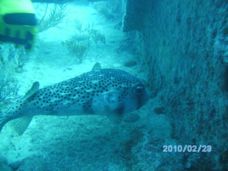 BIG Puffer on the Benwood, Key Largo, FL