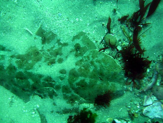 Pacific Angel Shark - Monestary Beach