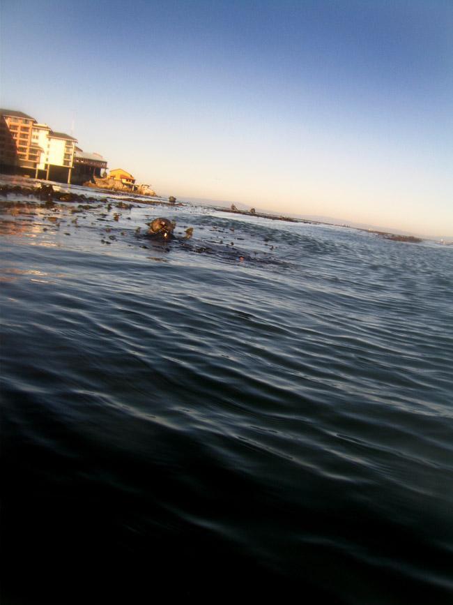 Sea Otter - San Carlos Beach, Monterey