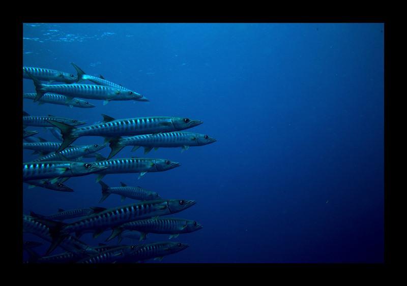 barracudas at similan islands