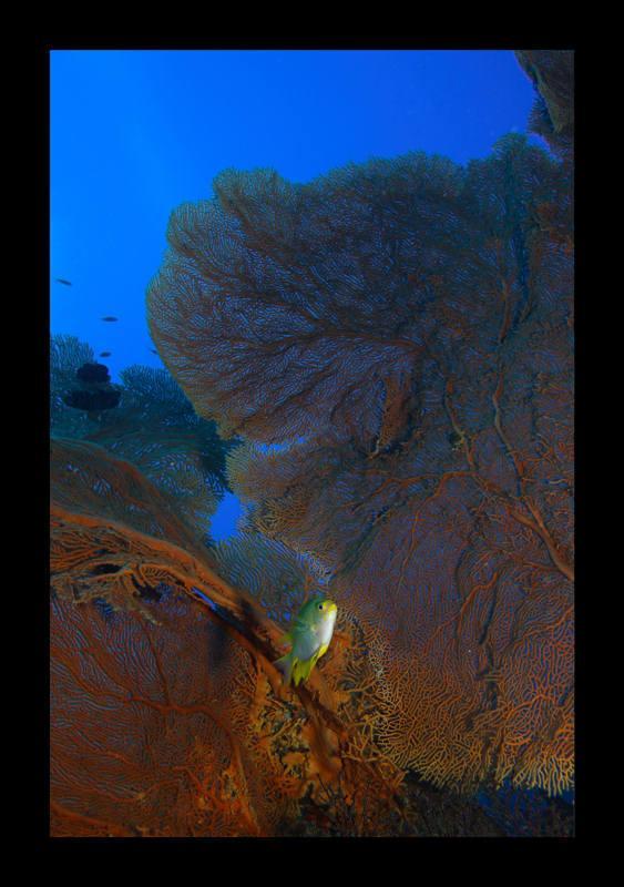 gorgonians at similan islands