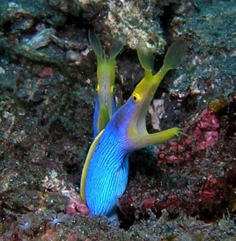 Blue Riboon Eels