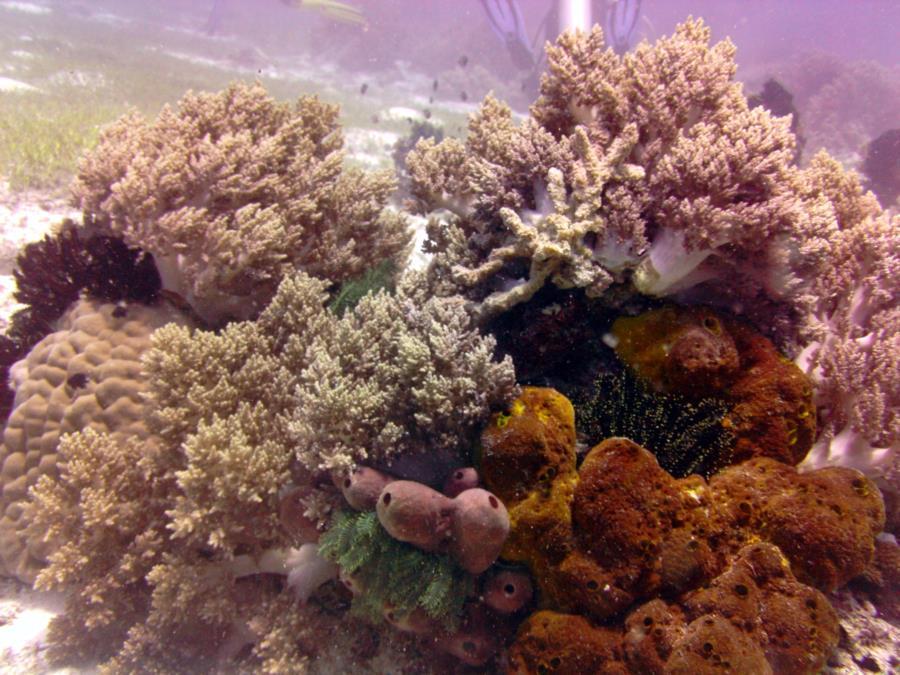 Coral at Balicasag