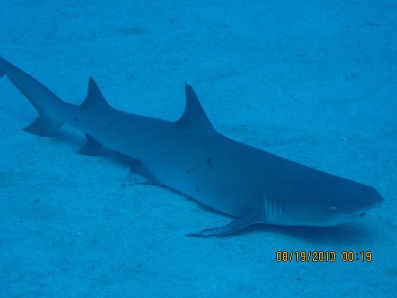 White Tip Reef Shark, Kona HI