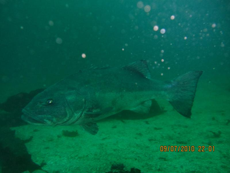 Giant Sea Bass in Catalina