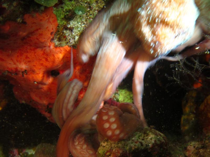 Octopus (2) fighting
