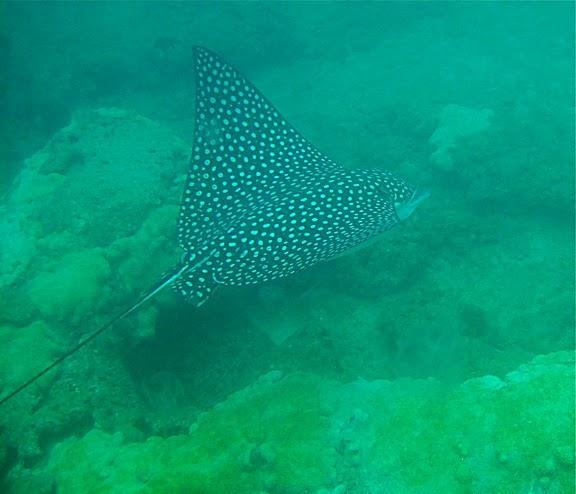 eagle ray (Boca Raton, Fl)