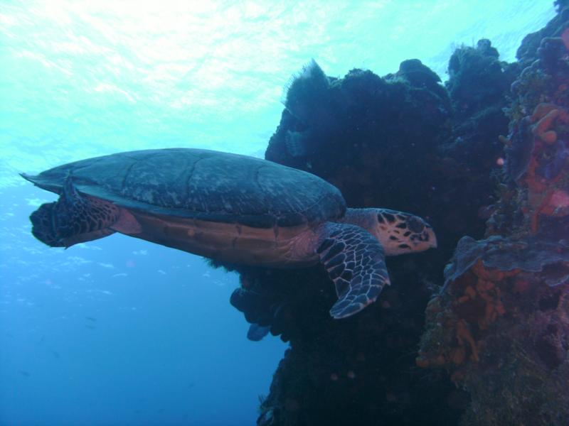 Columbia Turtle