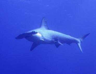 Hammerhead shark off the coast of San Salvador island in the Bahamas