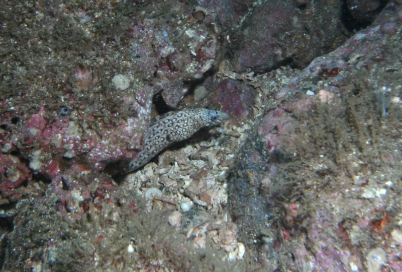 Spotted Moray - Playa Hermosa - Guanacaste, Costa Rica