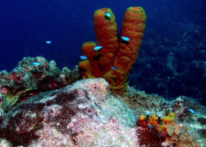 Tube Sponges - Great House Reef - Grand Cayman