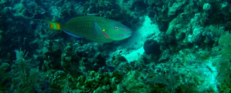 Parrot Fish - Great House Reef - Grand Cayman