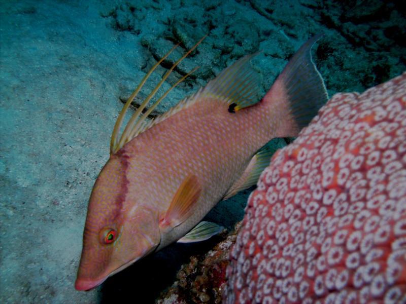 Hog Fish at Devil's Grotto